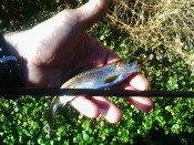 redband trout - heath