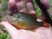 Redbreast sunfish - Tanagobum