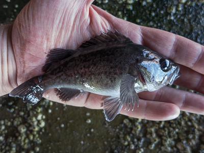Juvenile black rockfish