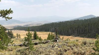Elk are in the woods across meadow