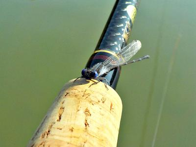 A Blue Damselfly Inspects my Nissin Zerosum