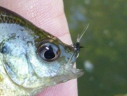 Small bluegill caught with size 26 fly