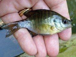 Small bluegill