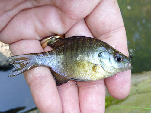 Bluegill from a stream in Central Park