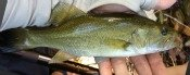 smallmouth bass - jchico