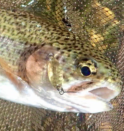 Rainbow trout in the net, home-made spoon in its mouth
