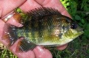 spotted tilapia - atenkley
