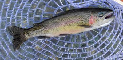 Native Stream-bred Rainbow Trout