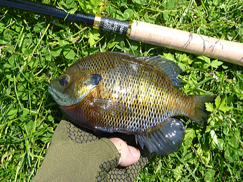 Bluegills are fun with the Tenkara Mini.