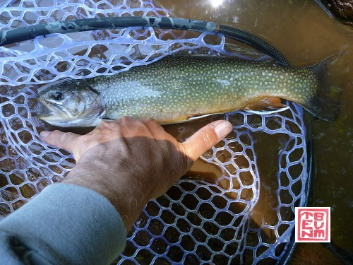 Large brook trout in net