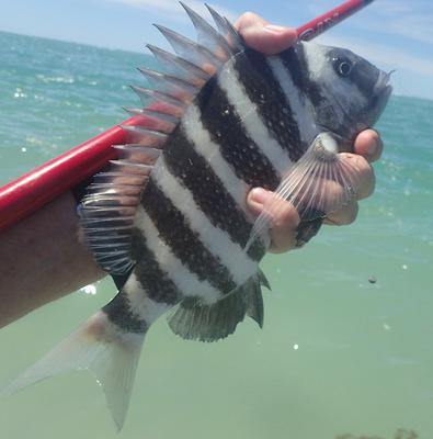 Sheepshead at John's Pass