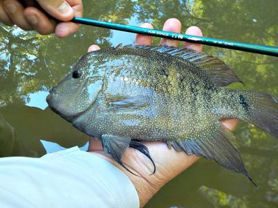 A big cichlid with the Nissin Air Stage Hakubai 240