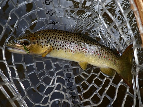 Brown trout in ne