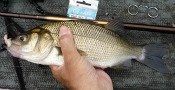 white perch - TanagoBum
