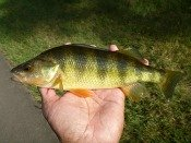 yellow perch- thelifeamphibious