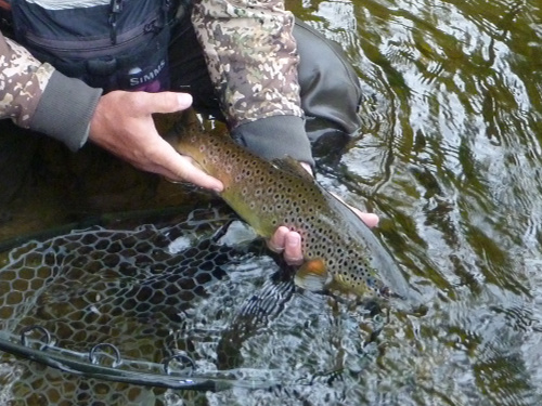 Zach releasing nice brown trout