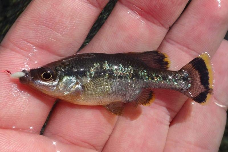 Angler holding small fish